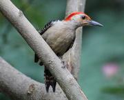 14th Jul 2019 - I Love This Woodpecker