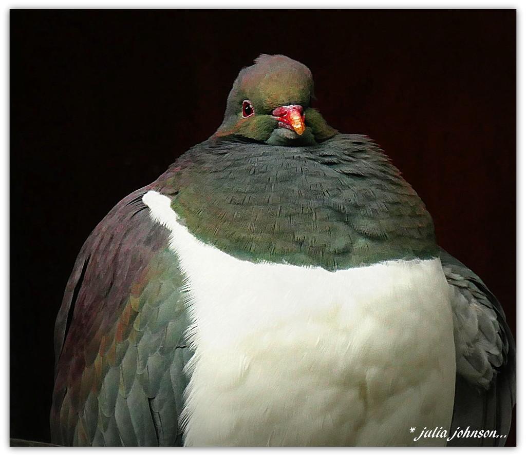 Mr Podge... The Kereru... by julzmaioro
