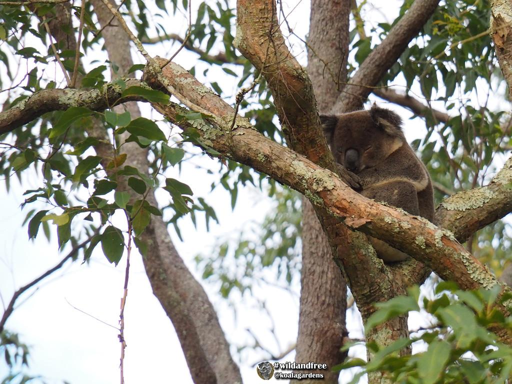 koalas, bark and lichen by koalagardens