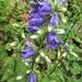 Campanula latifolia....