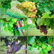 16th Jul 2019 - The netted vineyard grapes