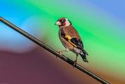 14th Jul 2019 - Goldfinch rainbow moment