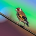 Goldfinch rainbow moment