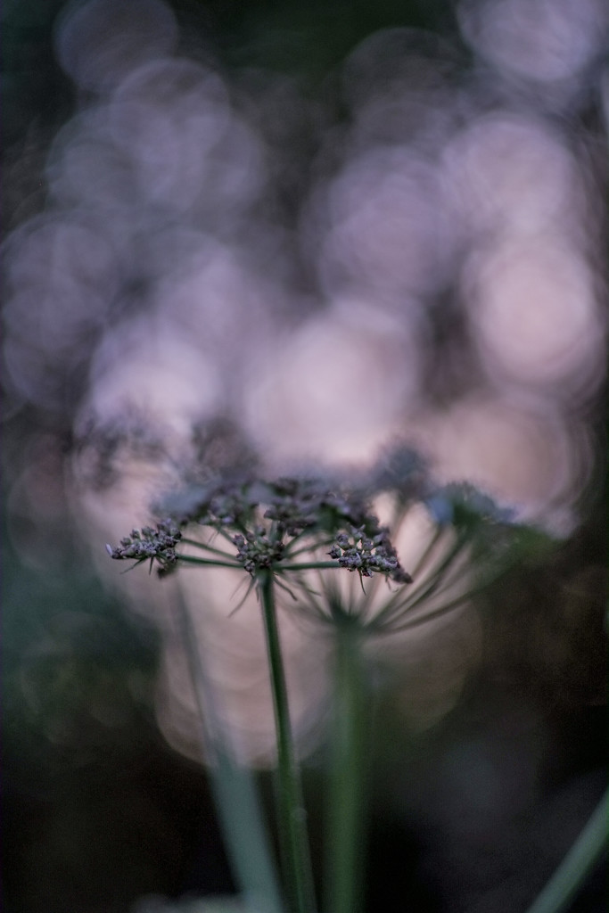 More umbellifers by ingrid2101
