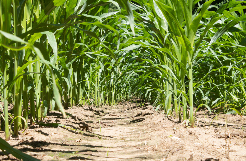 Low Down on the Corn by tdaug80