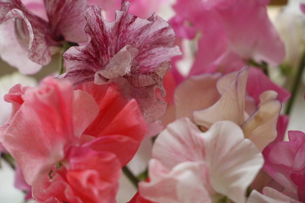 Pink poesy by callymazoo