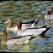 Australian Wood Duck Or Maned Duck ~