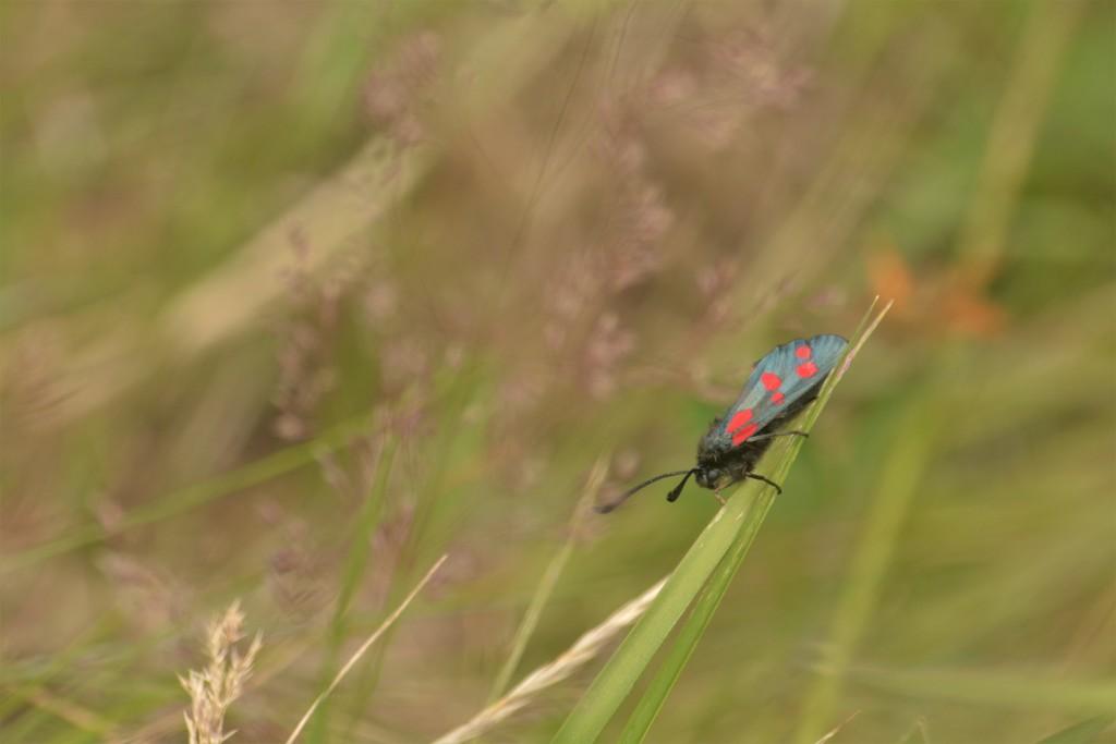 Daytime moth......... by ziggy77