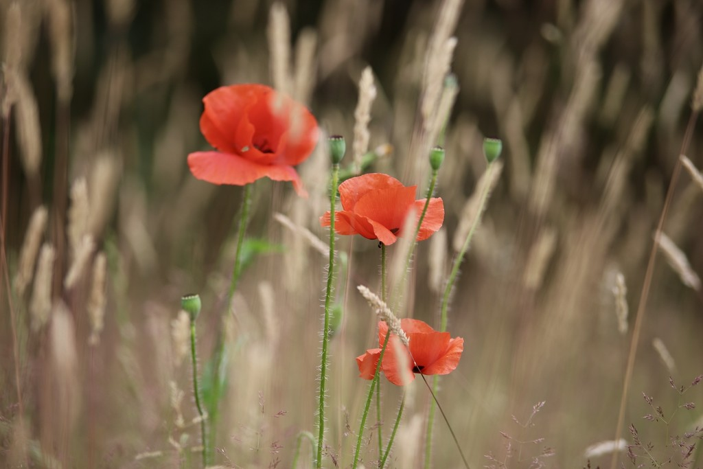 Poppies Amongst the Grass by carole_sandford