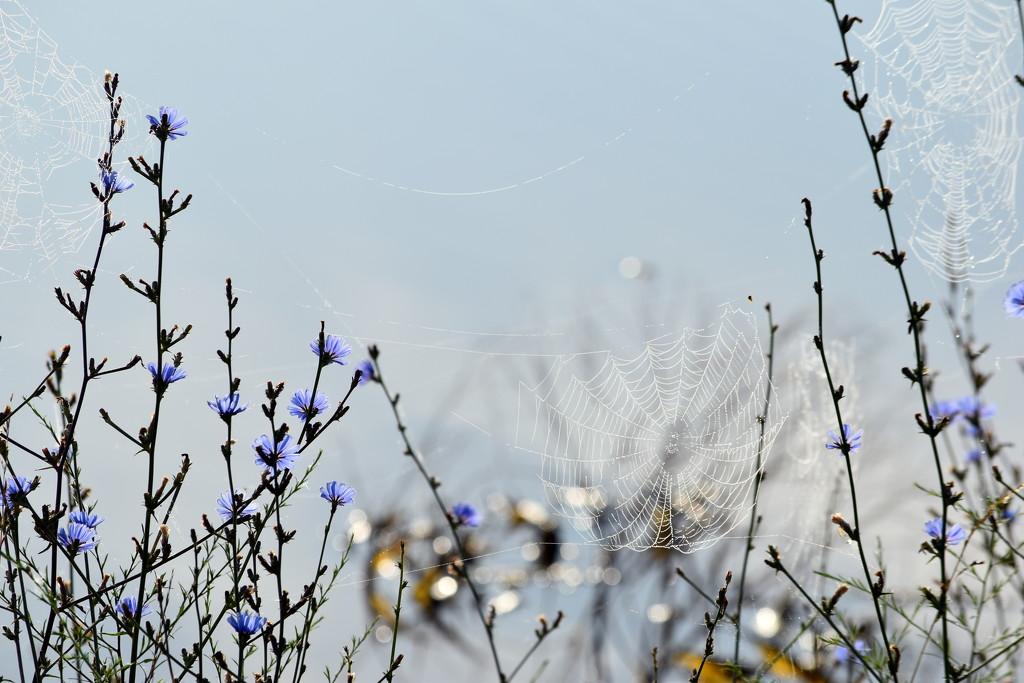 Fresh Morning Spider Webs by genealogygenie
