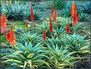 17th Jul 2019 - Aloe Africana