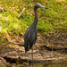 Little Blue Heron!