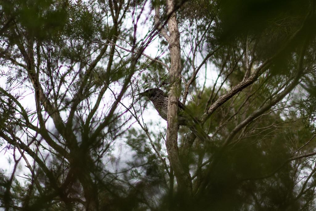 Australian wattle bird by sugarmuser