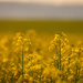 Canola at Dusk by 365karly1