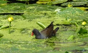 17th Jul 2019 - Moorhen