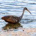 Limpkin comes up empty