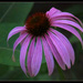 Coneflower by mittens