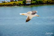 17th Jul 2019 - Seagull