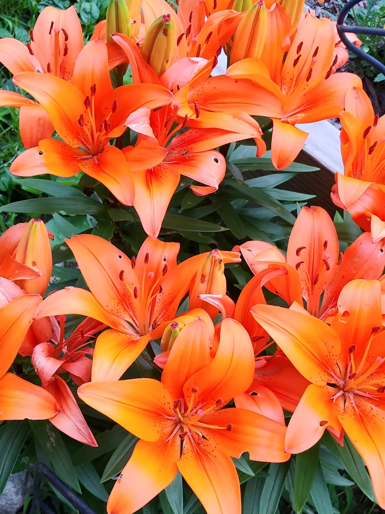 Bunches of Orange  by jo38
