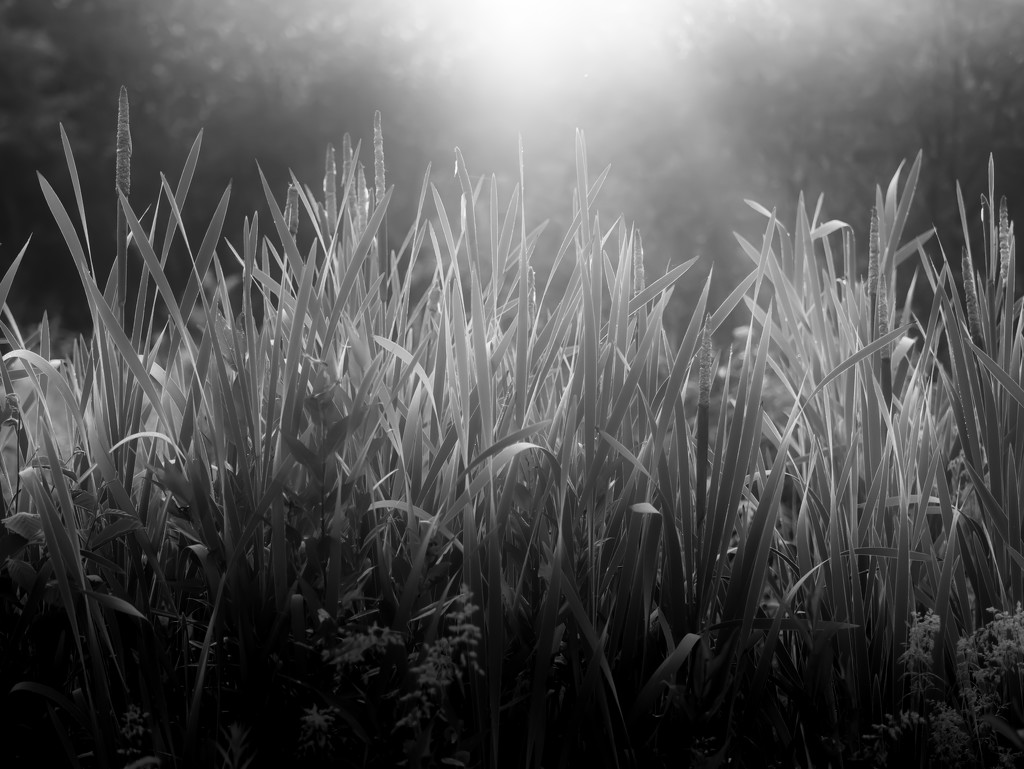 grass in the early morning light by northy