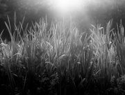 17th Jul 2019 - grass in the early morning light