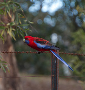 16th Jul 2019 - Rosella on the Fence