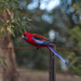 Rosella on the Fence
