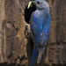 Mountain Bluebird Male Bringing Food to Nest Hole