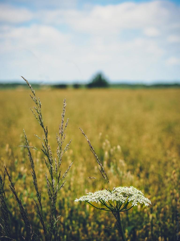fields of gold by pistache
