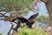 18th Jul 2019 - Golden Eagle 'Chick'