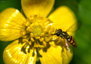 17th Jul 2019 - Hoverfly or Flower fly