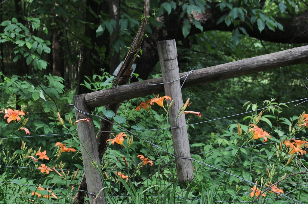 Fence and lilies by mittens
