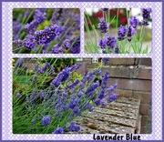 19th Jul 2019 - Lavender Blue