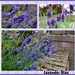 Lavender Blue  by beryl