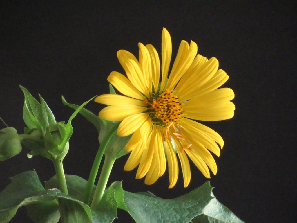 Yellow flower by bruni