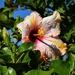 Unusual Hibiscus ~