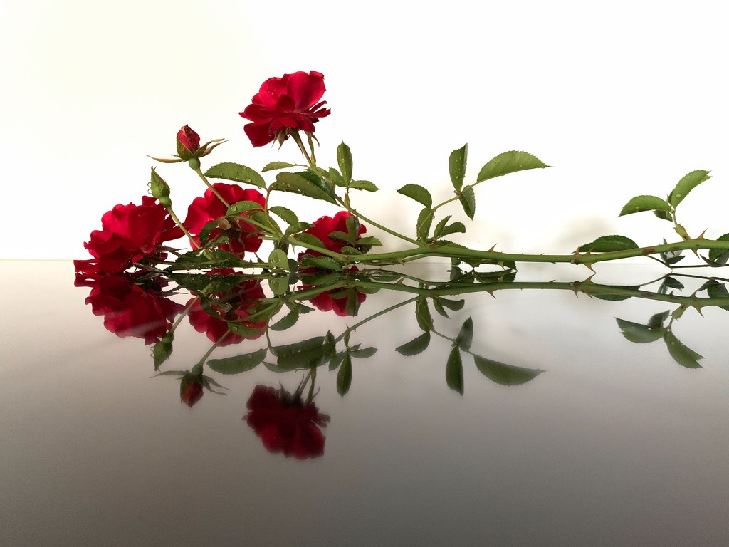 Reflection of roses by shutterbug49