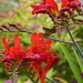 Crocosmia ... by snowy