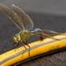 dragonfly or damselfly?