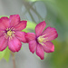 Pink Clematis! by fayefaye