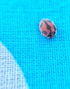 19th Jul 2019 - Tiny hairy ladybug.