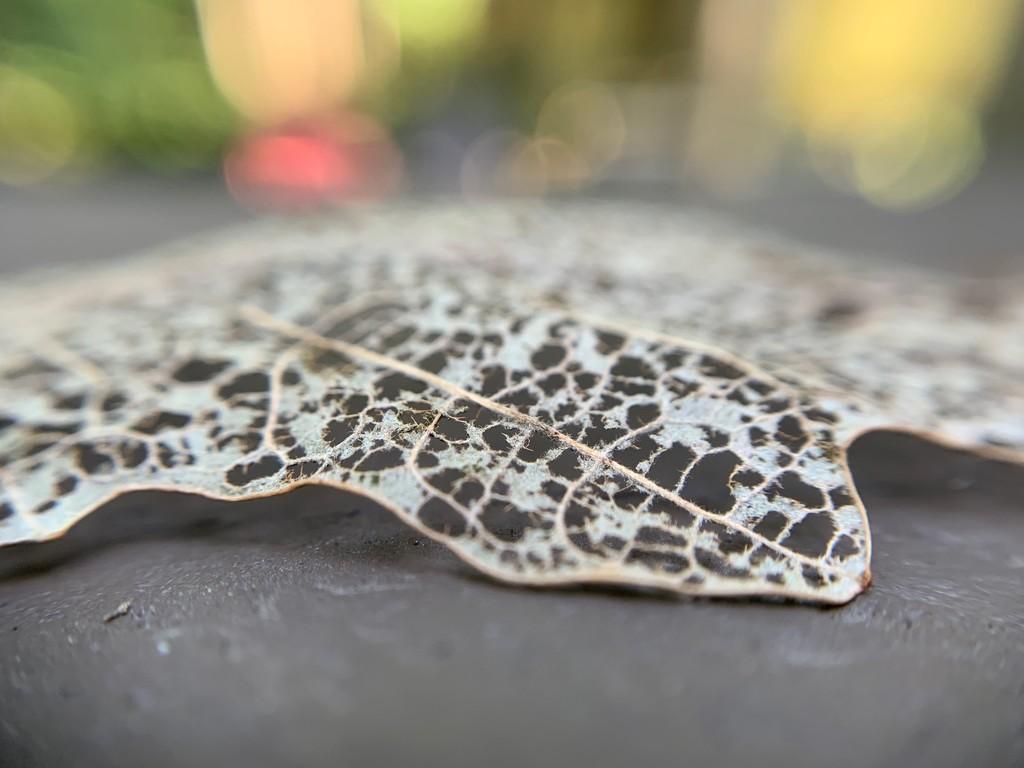 Lacy leaf by kdrinkie