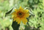 18th Jul 2019 - Sunflower SOOC