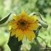 Sunflower SOOC