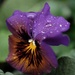 Pansy in the rain