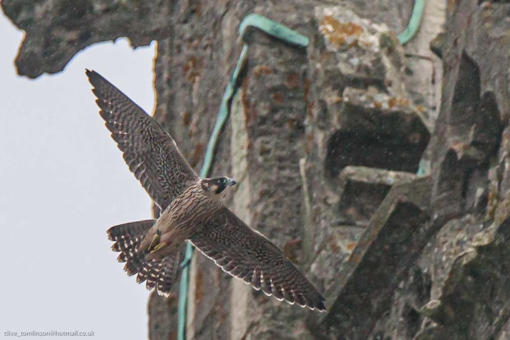 Peregrine falcon-Cromer 2 by padlock