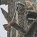 Peregrine falcon-Cromer 2