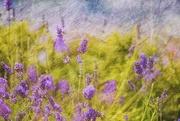 19th Jul 2019 - Lavender