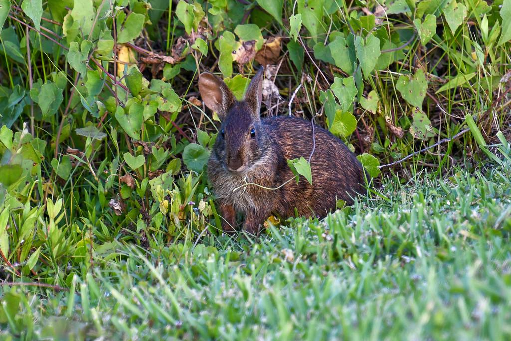 Marsh rabbit by danette