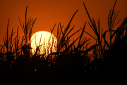 18th Jul 2019 - Cornfield Sunset